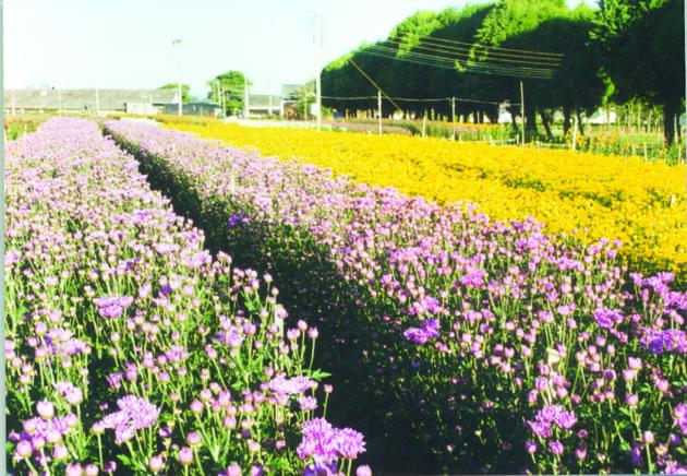 Cedida - Fazenda de Flores em Holambra: maior centro de cultivo e comercialização de plantas ornamentais do país