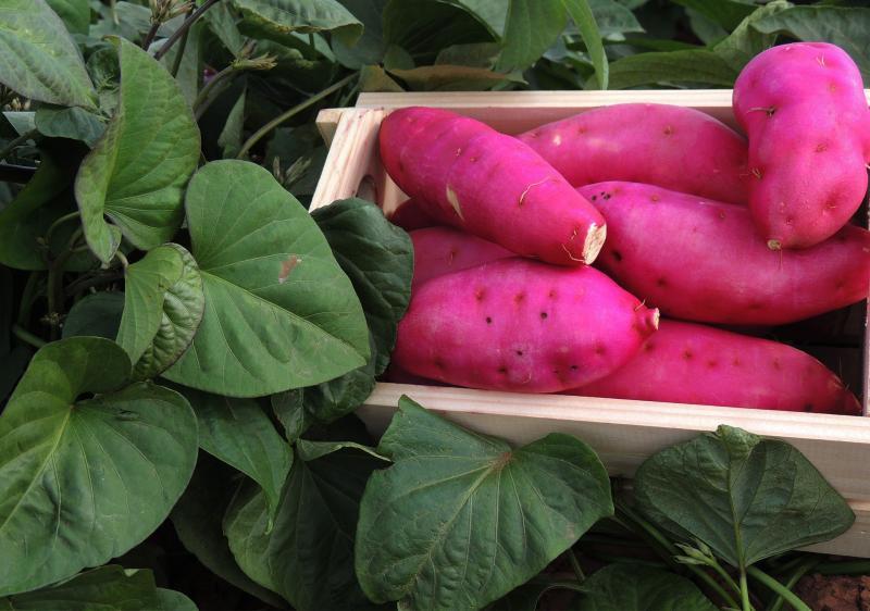 Batatec - Produção de batata-doce é uma das responsáveis por gerar economia em Prudente