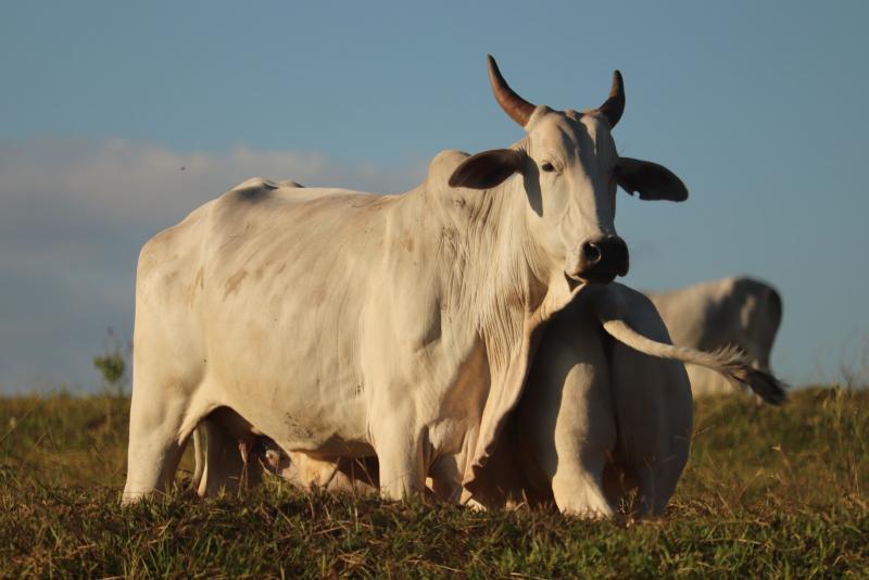 Marco Vinicius Ropelli:Tendência é que porcentagem de bovídeos vacinados na região chegue perto dos 100%