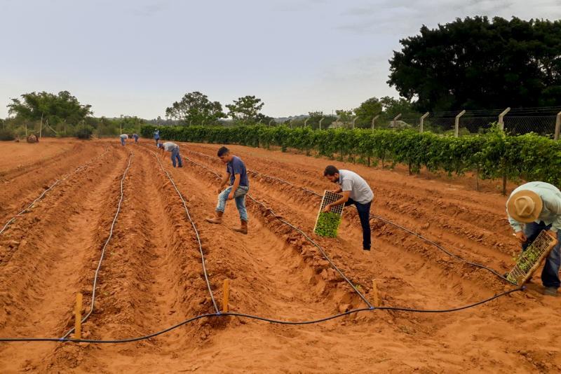 Cedida - Instalação de experimentos de batata-doce por integrantes do Ceofop