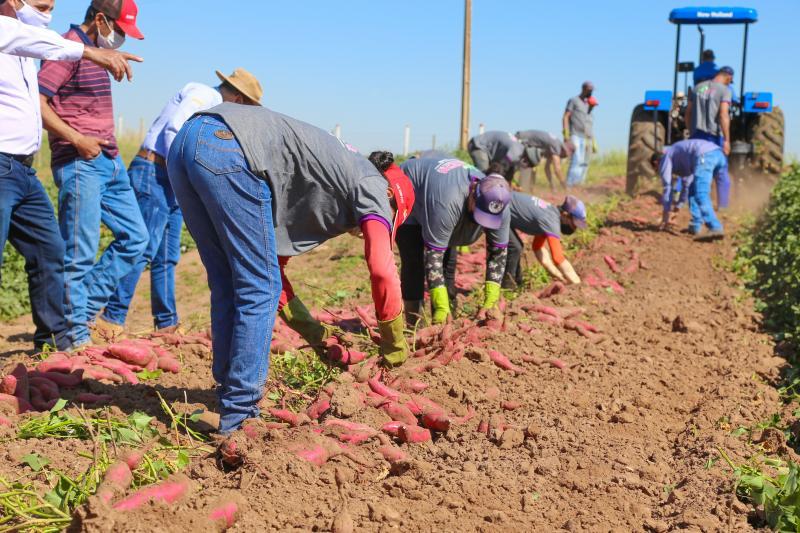Weverson Nascimento - Prudente é a 2ª maior região do Brasil que mais produz batata-doce