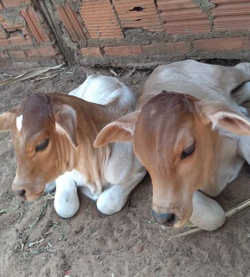 Cedida -Nascimento raro de bezerros gêmeos ocorreu em Machado