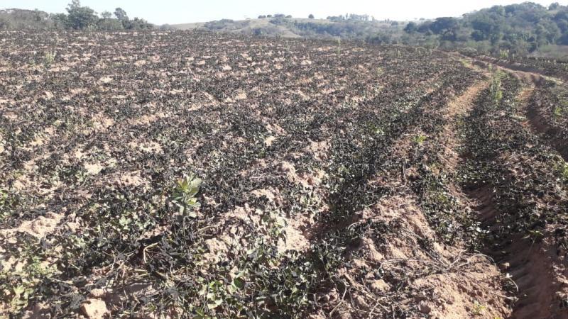 Penúltima geada queimou cerca de 80% de uma lavoura de batata-doce em Prudente