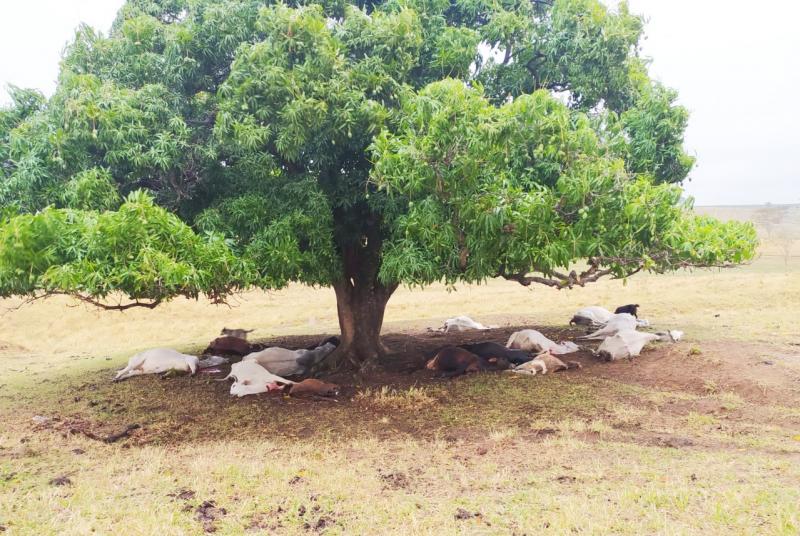 Catorze cabeças de bovinos estavam sob a árvore atingida por raio