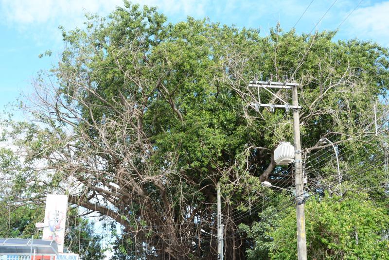 Prefeitura de Prudente - Figueira fica na calçada do PUM, em Prudente, e apresenta aspectos de envenenamento