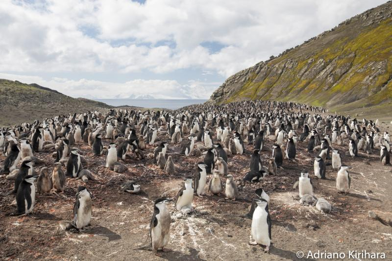 Cedida/ Adriano Kirihara:Colônia de Pinguins de Barbicha, na Ilha Deception, um dos lugares que encantou o fotógrafo
