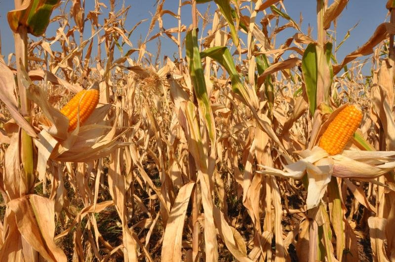 José Reis - Na região, milho representa segunda maior produção em termos de agricultura de grãos