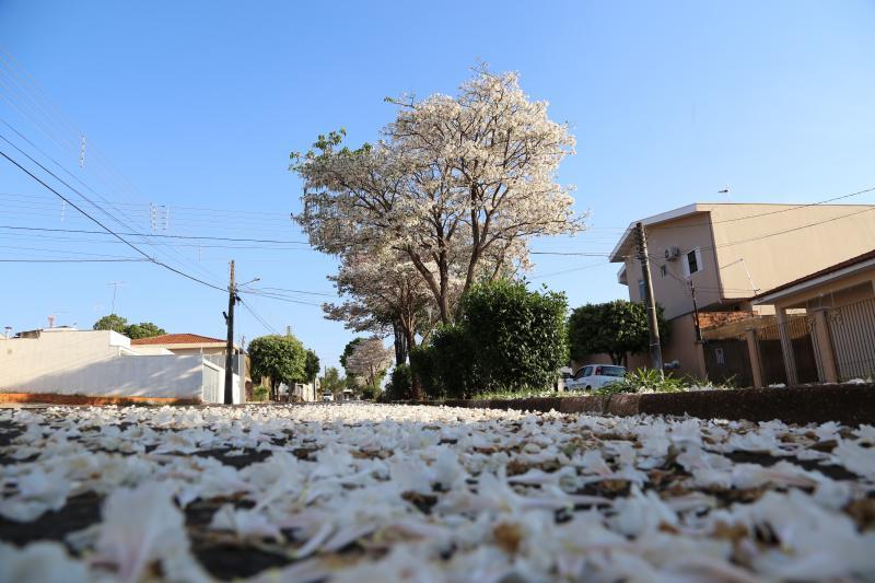José Reis - Floradas do ipê branco são predominantes no mês de setembro