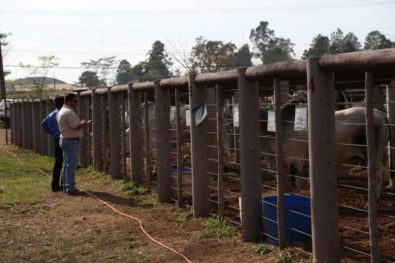 Marco Vinicius Ropelli - Animais na mangueira, prontos para embarcar no caminhão do comprador
