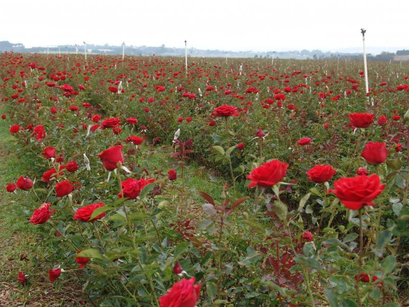 Fazenda de flores aberta para visitação turística em Holambra: show de cores e formatos