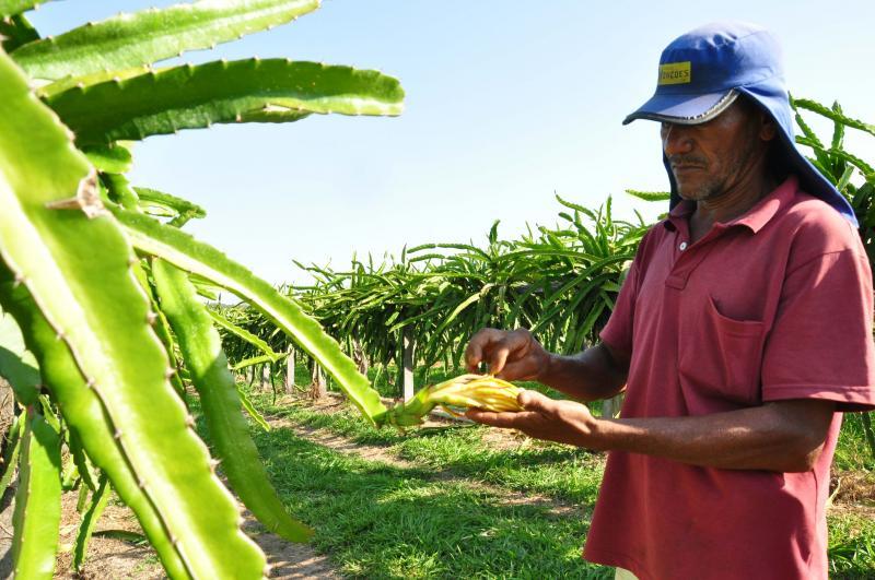 José Reis - Produtor cultiva pitaias brancas, vermelhas e mistas, em Montalvão