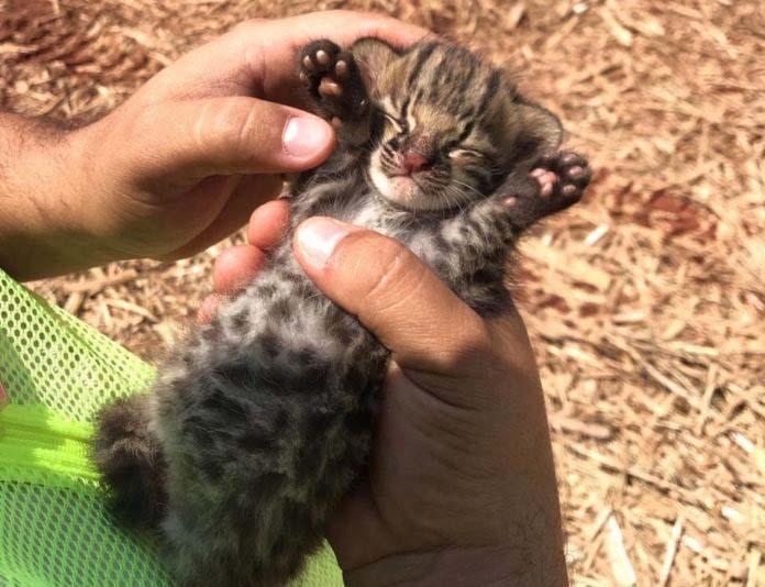 Polícia Militar Ambiental - Filhote de gato-do-mato foi encontrado por trabalhadores de usina sucroalcooleira