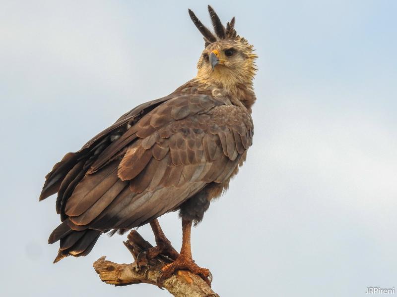 José Roberto Pireni - Fotografia inédita da águia-cinzenta, feita em 2018, uma ave com grande risco de extinção