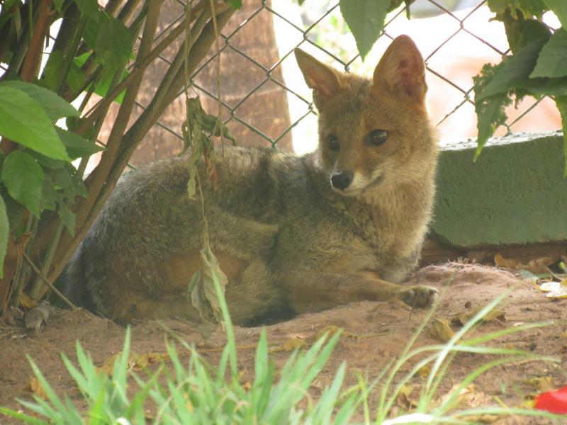 Cidade da Criança/Cedida - Vítima de atropelamento, Fox, uma raposa-do-campo macho, reside no zoológico do complexo