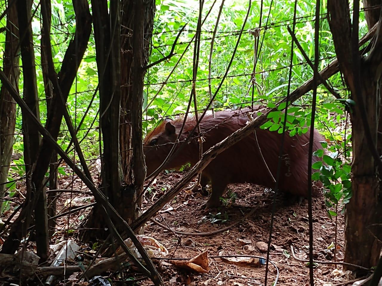 Polícia Militar Ambiental - Animal foi solto no Rio Santo Anastácio