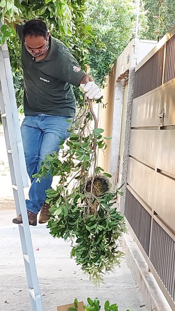 ouriço-cacheiro foi encontrado na área urbana de presidente prudente