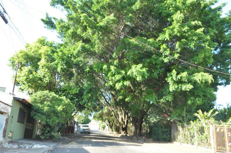 """José Reis - Para Semea, espécies """"formam um belo corredor arbóreo que, além de contribuir com o clima, também embelezam o bairro, devendo ser preservadas"""""""